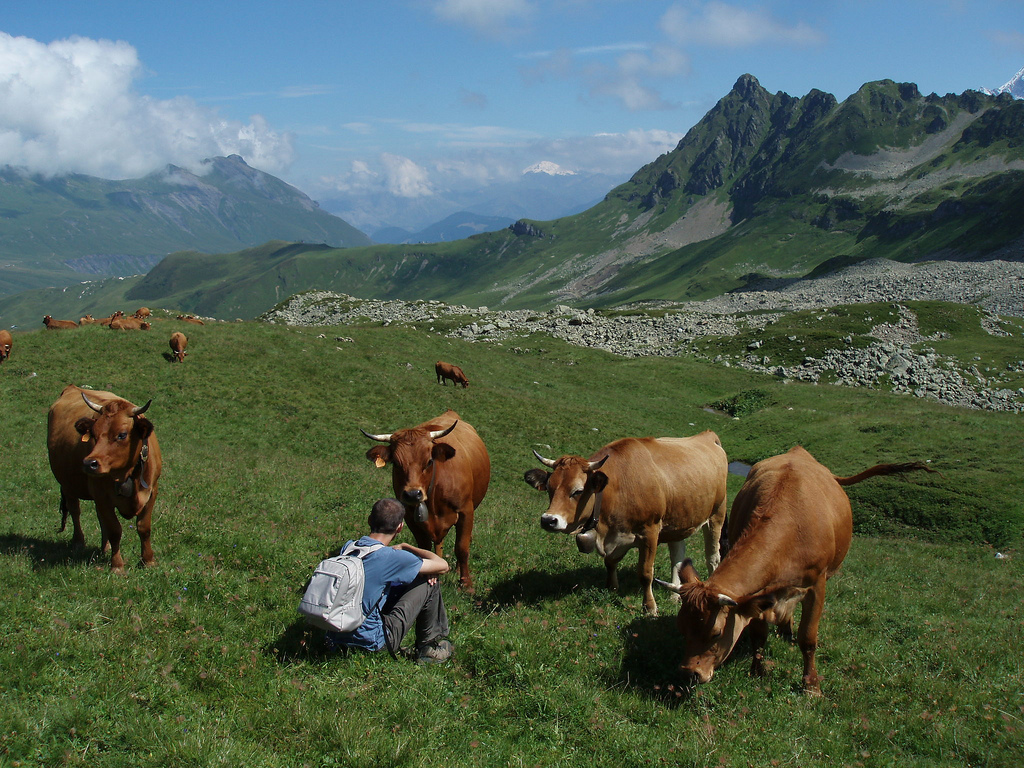 romain au milieu des vaches
