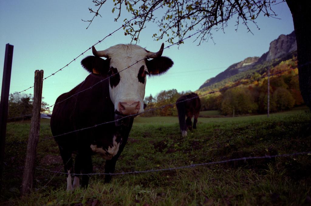 Une vache dans son champ