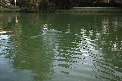 À la poursuite d'un canard